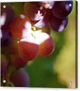 Auntie Thelma's Grapes - Ripening Acrylic Print