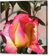 Aurora Color Rose Bud. Wow Acrylic Print