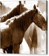 Wild Horses - Australian Brumbies 3 Acrylic Print