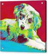 Aussie Puppy Acrylic Print