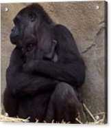 Australia - Baby Gorilla In Mums Arms Acrylic Print
