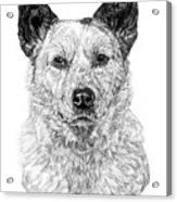Australian Cattle Dog Acrylic Print
