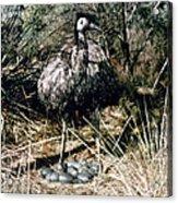 Australian Emu Acrylic Print