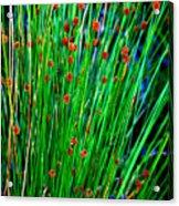 Australian Native Grass Acrylic Print