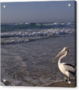 Australian Pelican And Surf Acrylic Print