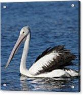 Australian Pelican B Acrylic Print