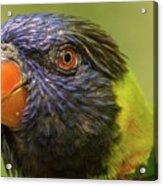 Australian Rainbow Lorikeet Acrylic Print