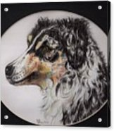 Australian Shepherd Della Mae Acrylic Print