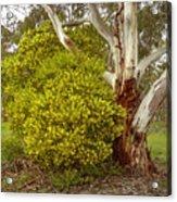 Australian Wattles Bush And Candlebark Gum Tree Acrylic Print