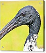 Australian White Ibis Acrylic Print