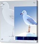 Australian Wildlife - Silver Gull Acrylic Print