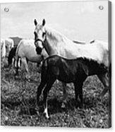 Austria: Horse Farm Acrylic Print