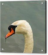 Austrian White Swan Acrylic Print