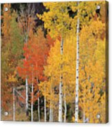 Autumn Aspen Trees Acrylic Print