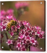Autumn Bee On Flowers Acrylic Print