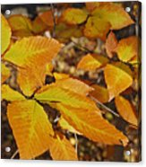 Autumn Beech  Acrylic Print by Michael Peychich