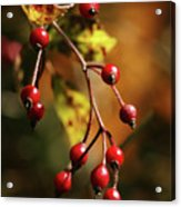 Autumn Berries Acrylic Print