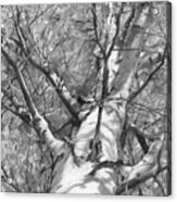 Autumn Birch Acrylic Print