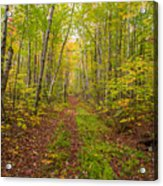 Autumn Birch Woods Acrylic Print