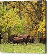 Autumn Bison Acrylic Print