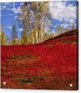 Autumn Birches And Barrens Acrylic Print