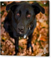 Autumn Dog Acrylic Print