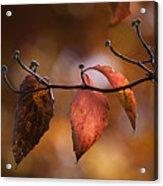 Autumn Dogwood 20121020_11 Acrylic Print
