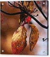 Autumn Dogwood 20121020_13 Acrylic Print