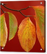 Autumn Dogwood Leaves On Red Acrylic Print