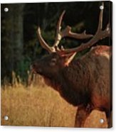 Autumn Elk In Cataloochee Valley Textured Acrylic Print