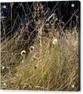 Autumn Grass Acrylic Print