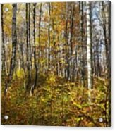 Autumn In The Birches Forest Acrylic Print