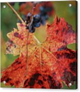 Autumn In The Vineyard Acrylic Print