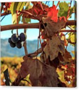 Autumn In The Wine Country Acrylic Print
