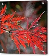 Autumn Japanese Maple Acrylic Print