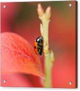 Autumn Ladybird Acrylic Print