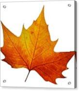 Autumn Leaf 1 Acrylic Print
