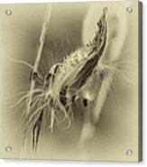 Autumn Milkweed 7 - Sepia Acrylic Print