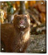 Autumn Mink Acrylic Print