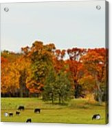 Autumn Minnesota Black Angus Cattle Acrylic Print