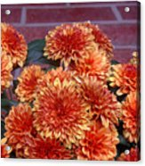 Autumn Mums - Against Brick Acrylic Print