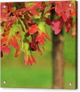 Autumn Oak Tree Acrylic Print