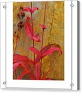 Autumn Penstemon Poster Acrylic Print