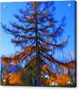Autumn Pine Tree Acrylic Print