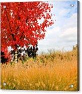 Autumn Red Maple Acrylic Print