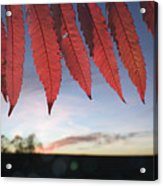 Autumn Red Sumac Leaves Acrylic Print