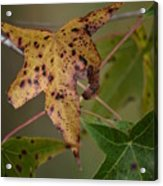 Autumn Spotted Acrylic Print