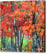 Autumn Sugar Maple Acrylic Print