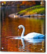 Autumn Swan Lake Acrylic Print
