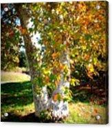 Autumn Sycamore Tree Acrylic Print